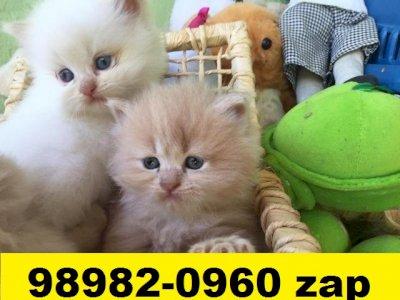 Gatil em BH especializado em filhotes de Persa