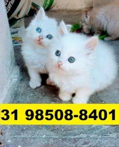 Gatil em BH Belíssimos filhotes de gatos Angora