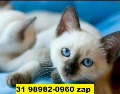 Gatil em BH Lindos filhotes de gatos Siamês
